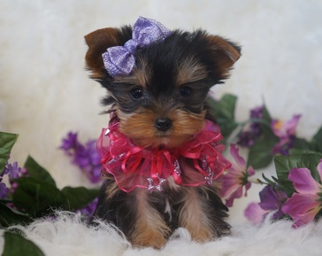 Yorkie Puppies for sale in Georgia