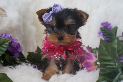 Yorkie Puppies For Sale Breeder Near Atlanta Georgia Kats Kennel