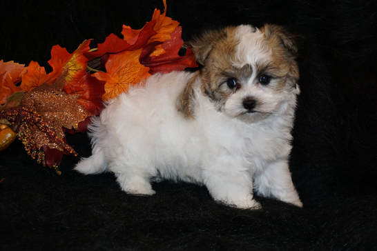 Morkies Maltipoo Puppies For Sale In Georgia Kats Kennel