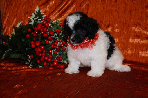 Toy Poodle Puppies For Sale In Georgia And Florida Kats