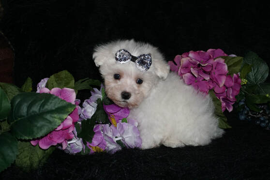 Toy Teacup Maltese Puppies For Sale In Georgia Kats Kennel